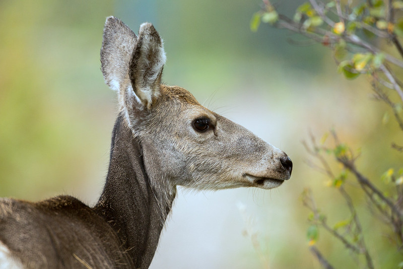 The Female Mule Deer