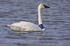 Tundra Swan U314