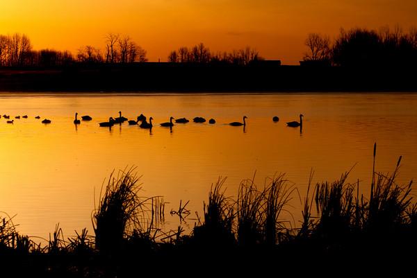 "Swan Song<br />  <a href=""http://ve6ab.blogspot.com/2010/04/flying-birds.html"">http://ve6ab.blogspot.com/2010/04/flying-birds.html</a>"