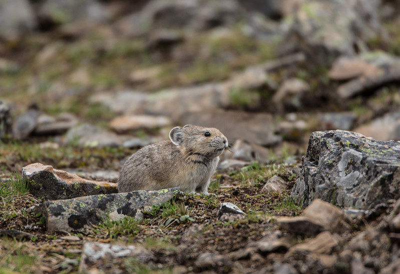 """Pika - Home Sweet Home<br /> <br /> <br />  <a href=""""http://ve6ab.blogspot.ca/2013/06/where-grizzlies-roam.html"""">http://ve6ab.blogspot.ca/2013/06/where-grizzlies-roam.html</a>"""