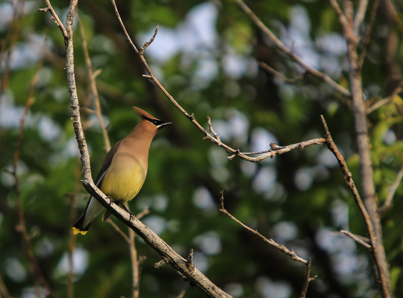 Cedar Waxwing<br /> <br /> While checking out the condition of the water on the Bow lately, there were Waxwings everywhere, along with various other songbirds. Being limited to my short tele, I'll be back with the proper gear soon.