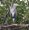 Great Blue Heron - Expand the photo to X3 large and look closely at this Great Blue Herons leg. Yup, thats some fisherman's pickrel rig wrapped around this heron's leg.