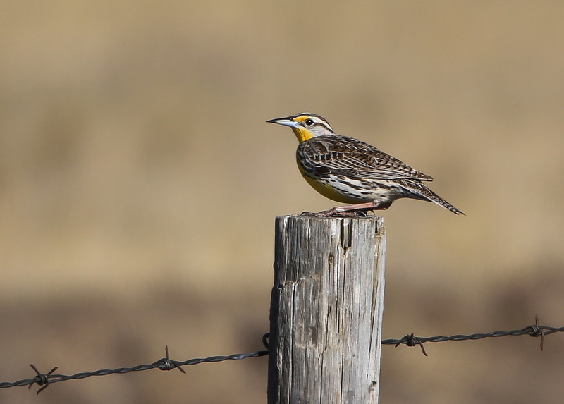 Meadowlarks are my favorite prairie bird, This female that I spotted on this fence post bordering a backroad out near the Crawling Valley reservoir near Bassano, was singing her beautiful song hoping to attract a mate.