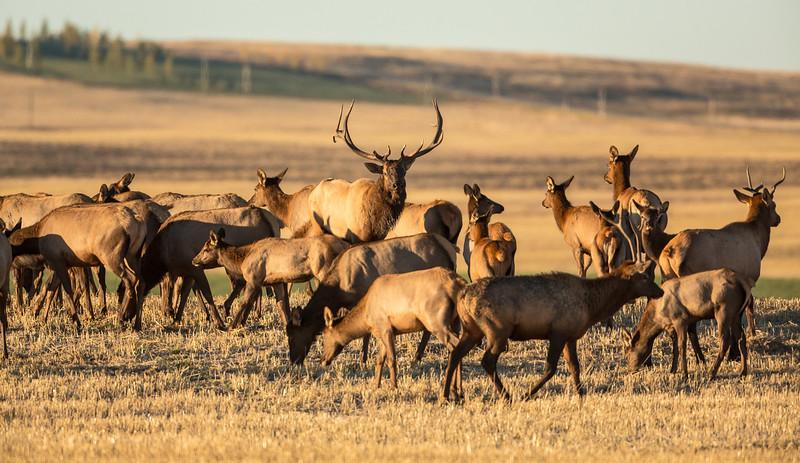 The Bull Elk