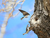 Love is in the Air - Tree Swallows on final approach to their nest
