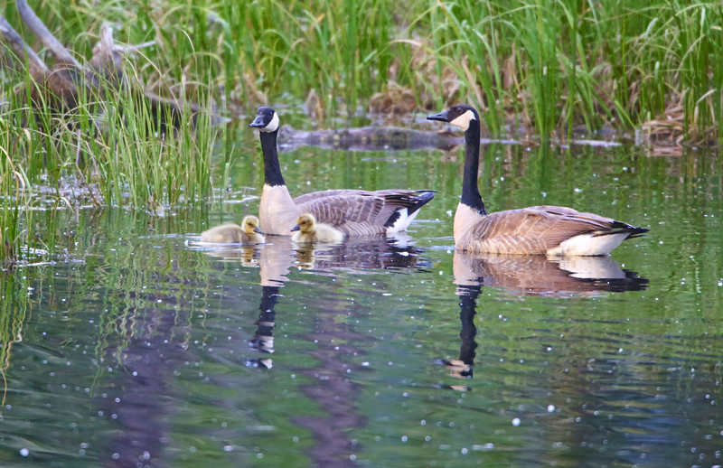 Backcountry Geese