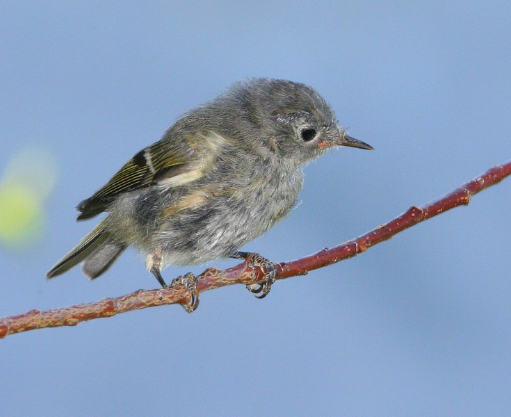 Immature Ruby-crowned Kinglet.