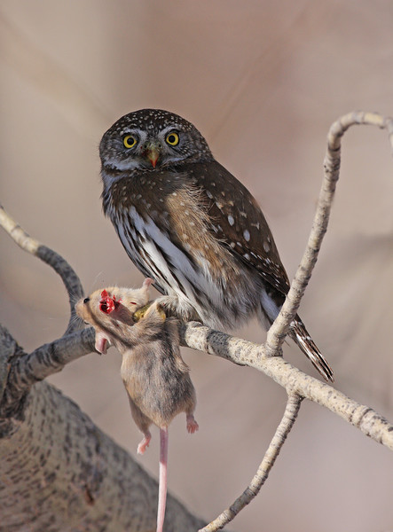 Northern Pygmy Owl with kill