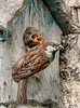 The House Sparrow and his brood