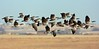 Canada Geese at speed