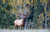 The Bull Elk and the Photographer playing hide & seek