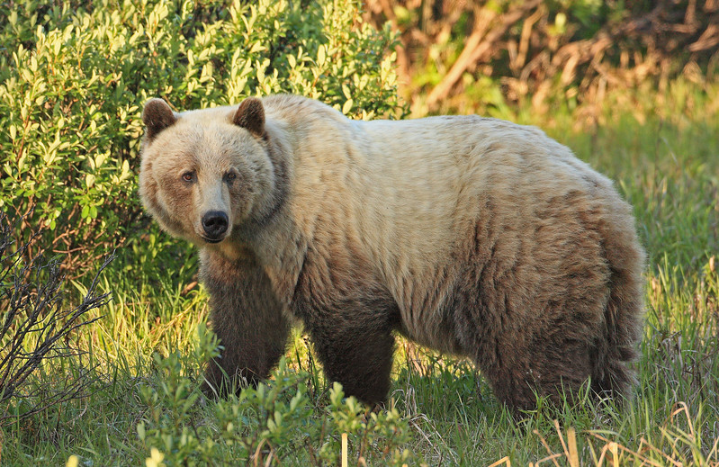 Kananaskis Grizzly