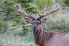 Elk Velvet Antlers