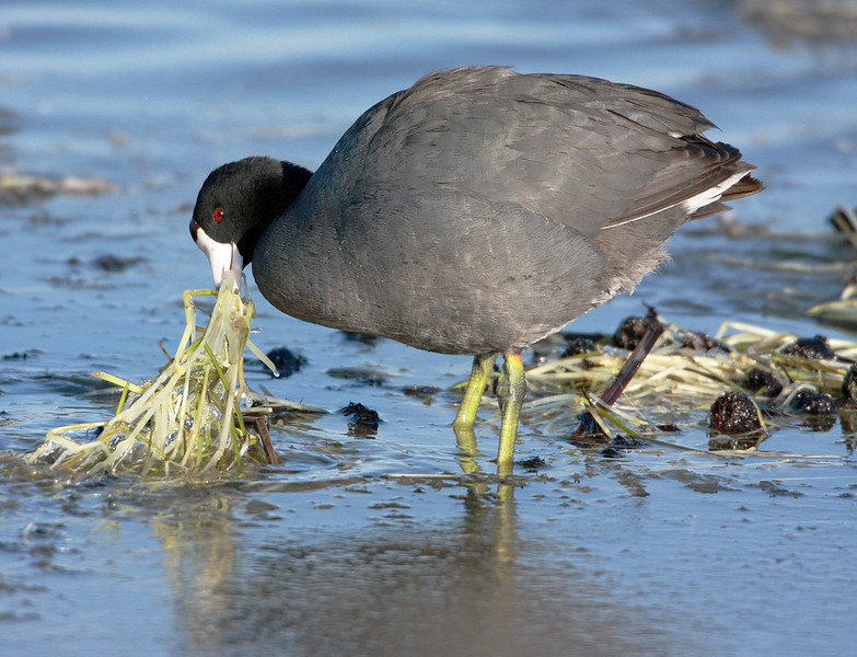 Coot - Love the green legs!