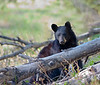 I shot photos of this young Black Bear as she fed on berries while I was hiking in the Bluerock wilderness area of Kananaskis Country.