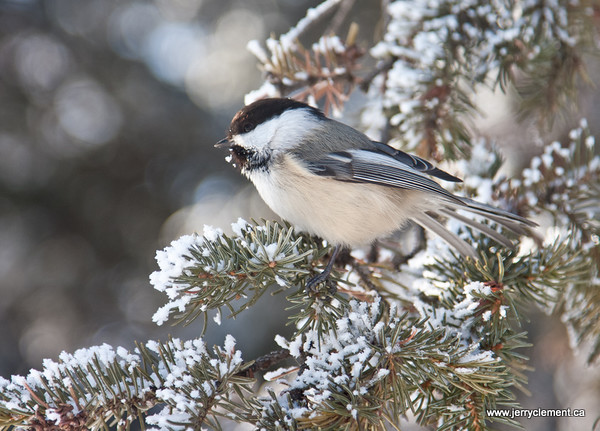 Black-Capped-Chickadee