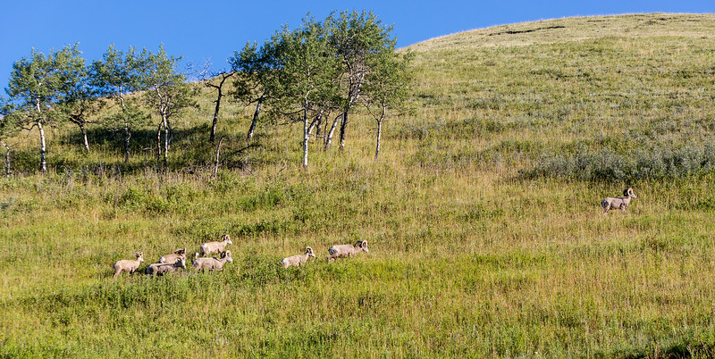 Where Rocky Mountain Bighorn Sheep go to graze.