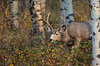Peek-A-Boo Mule Deer Buck