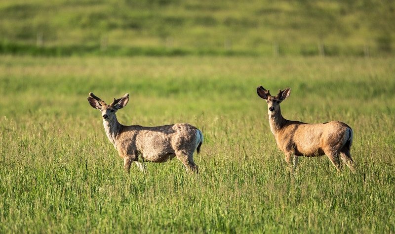 Resident Mule Deer in their grasslands home just after sunrise