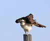 Whatcha Looking At!<br /> <br /> Sometimes known as the sea hawk, fish eagle or fish hawk, the Osprey is a diurnal fish-eating bird of prey.<br /> <br /> Note the band on this Osprey's leg. I zoomed in on it, but cannot get all the numbers, as part of the number lies around the back of the band.<br /> <br /> He was starting to get annoyed with me, as I approached his perch on foot. Of course, wouldn't you know it, he gave me a going away shot, as he departed his perch.