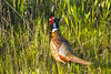 The  Ring-Necked Pheasant