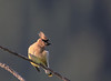 Cedar Waxwing upon seeing photographer - Did I ask you to take my picture!!!