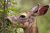 MuleDeer - Mom having lunch