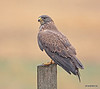 Female Swainson's Hawk