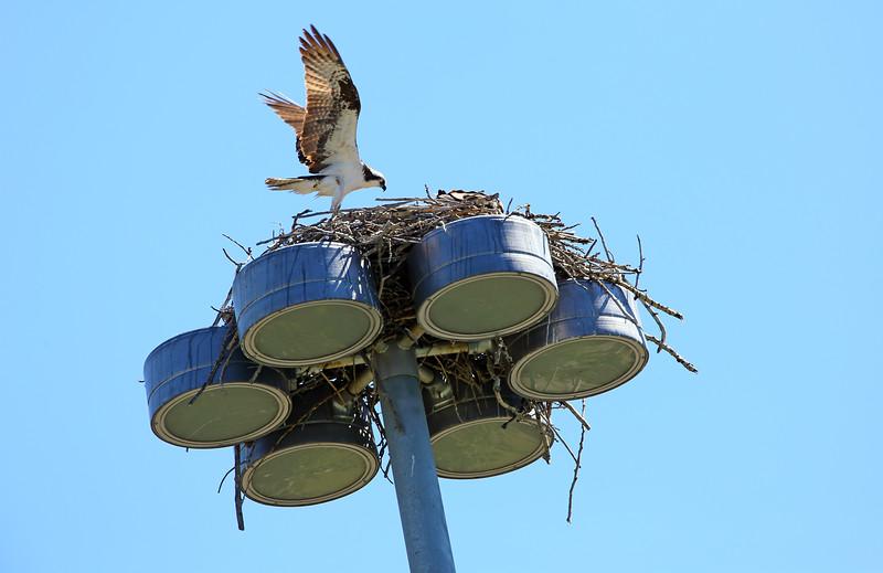 The Osprey Nest