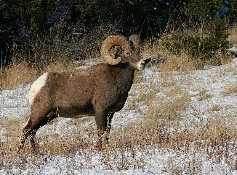 Rocky Mountain Bighorn