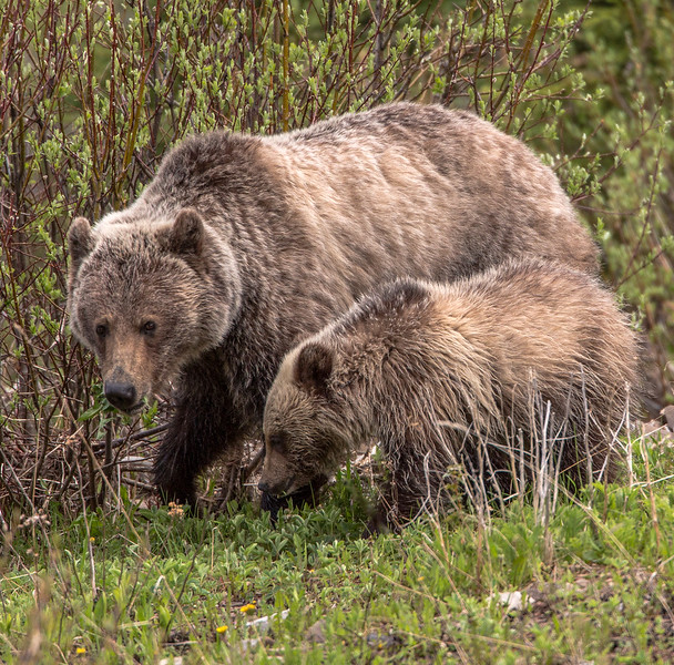 Grizzly's - Mom and Cub