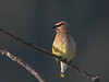 Cedar Waxwing in the early morning light.