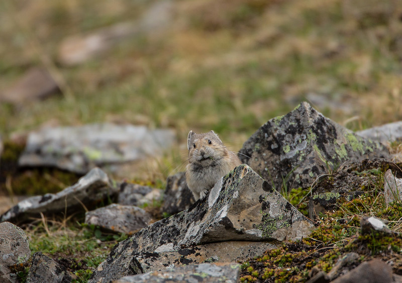 """Pika On Guard<br /> <br /> <br /> Hey Mister Photographer....your standing in my home!<br /> <br /> <br />  <a href=""""http://ve6ab.blogspot.ca/2013/06/where-grizzlies-roam.html"""">http://ve6ab.blogspot.ca/2013/06/where-grizzlies-roam.html</a>"""