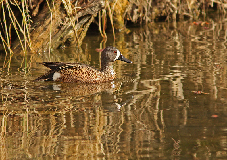 Blue -winged Teal