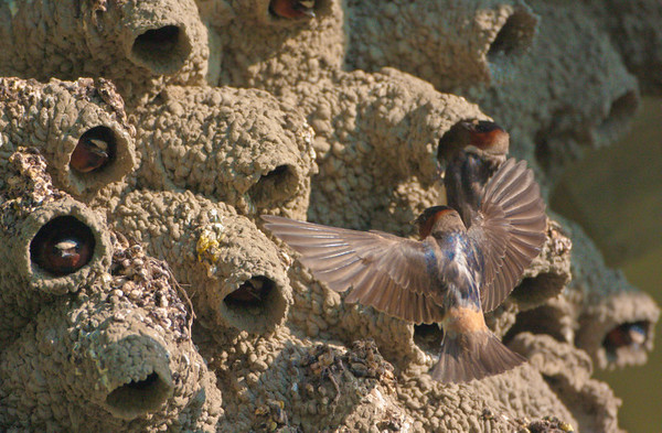 "What does it take to stop a Clff Swallow in flight as it makes the approach to its nest in the very early morning light.<br /> <br /> <br /> <a href=""http://ve6ab.blogspot.com/2010/07/trains-such.html"">http://ve6ab.blogspot.com/2010/07/trains-such.html</a>"