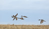 Pintails At Speed