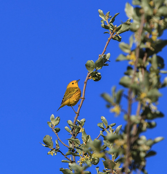 Yellow Warbler<br /> <br /> While hiking through the river valley along the Bow southeast of Calgary, I chanced upon a area loaded with shrubbery, that included all types of songbirds that I don't normally see here in Calgary. Having only a short telephoto lens with me proved to be somewhat limiting, although evironment photos such as this one can be pleasing. I will return soon.