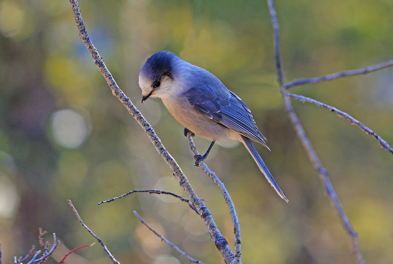 The Grey Jay