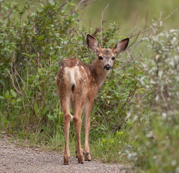 Mule-Deer - Fawn Do!