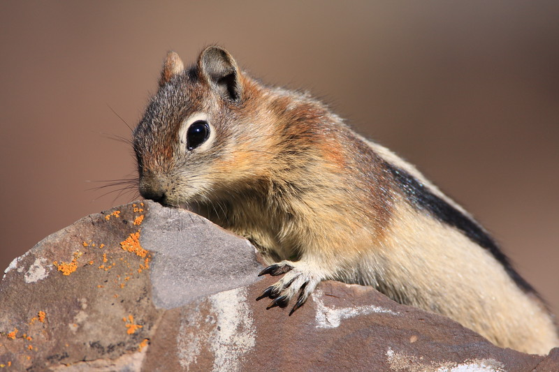 Golden Mantle Ground Squirrel