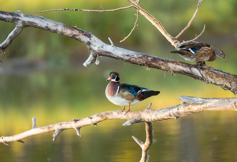 The Wood Ducks