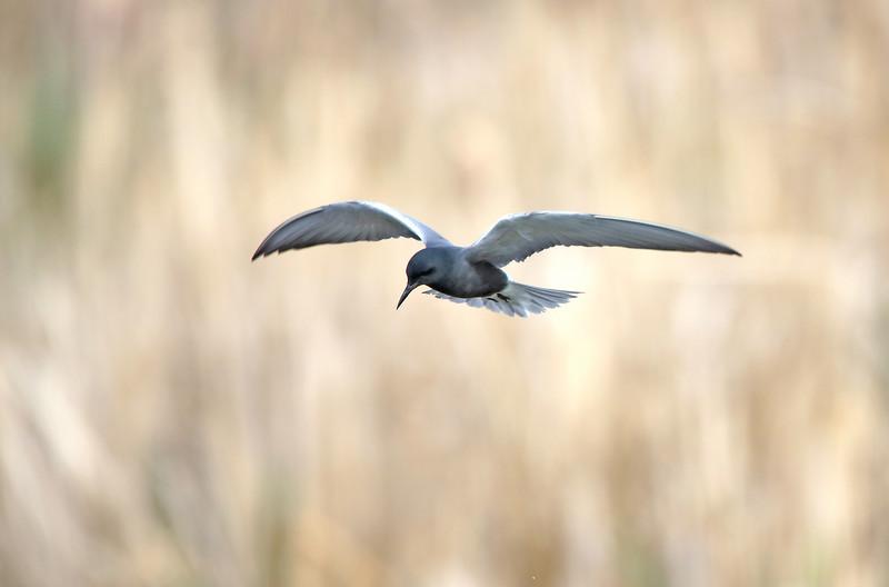 The Flight of the Black Tern
