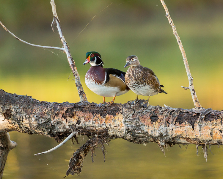 The Wood Ducks