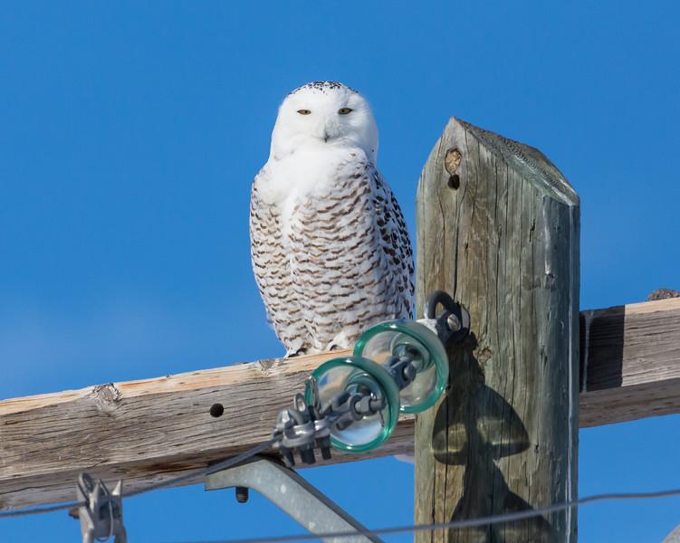 Female Snowey Owl