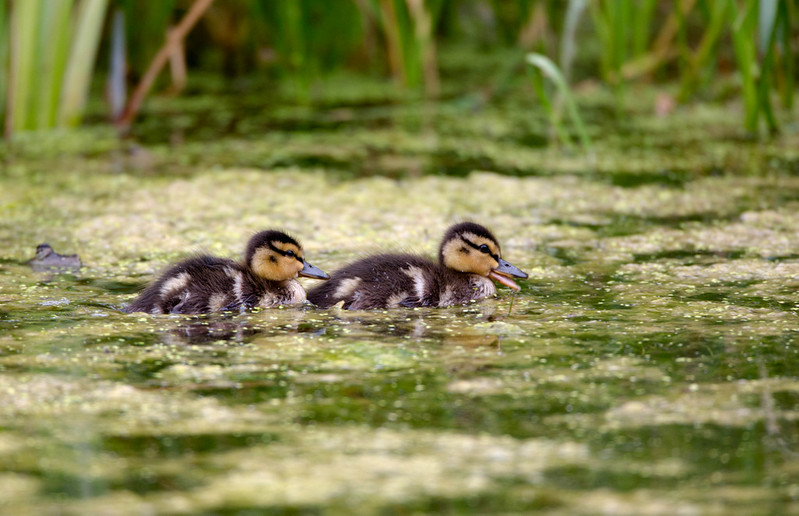 Mallard Ducklings<br /> <br /> The lazy days of summer swimming in the Pond.