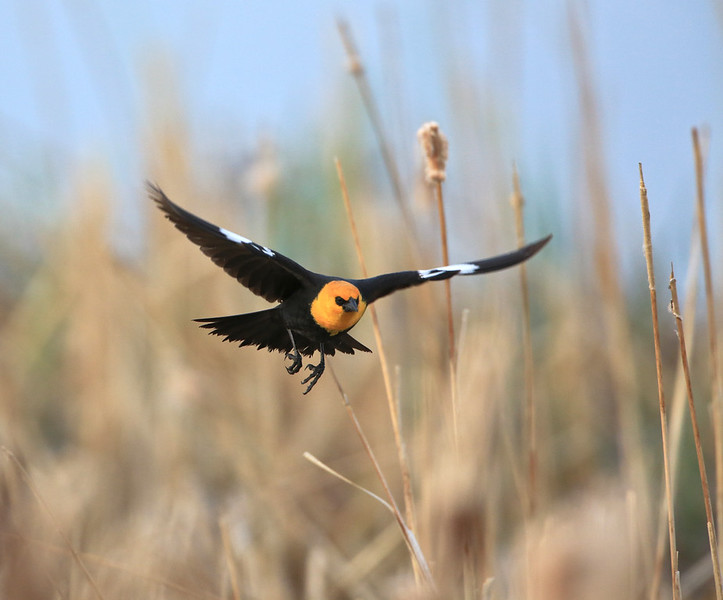 The Yellow-headed Blackbird