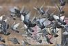 Pigeon Stew