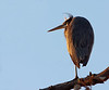 Great Blue Heron - Sunrise