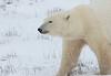 Polar Bear Antics