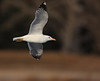 "California Gull At Speed<br /> <br /> My Wildlife Gallery<br /> <br />  <a href=""http://www.jerryclement.ca/Nature/WildBirds/4296024_npZqwM#!i=2254470007&k=fHxcVCC"">http://www.jerryclement.ca/Nature/WildBirds/4296024_npZqwM#!i=2254470007&k=fHxcVCC</a>"